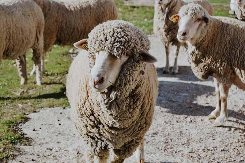 ovejas-lana-merino-perfil-reto-somos-lo-que-tejemos-dLana
